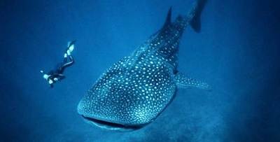 nado-tiburon-ballena-Holbox